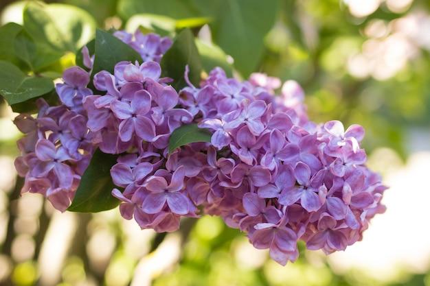 春の庭で開花ライラックブッシュ