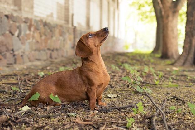 赤犬ダックスフント狩りリス