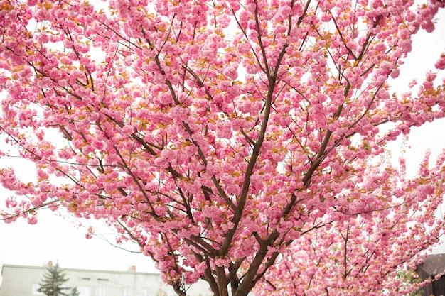 Вишневый цвет весной с мягким фокусом, сезоном сакуры в корее, предпосылке.