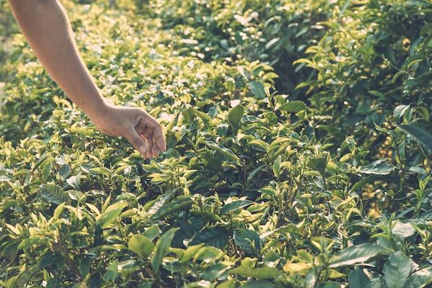 茶葉を収穫する。緑茶葉の先端を茶園の丘の上の人間の手で摘む