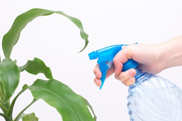 屋内植物に水を噴霧します。手には水が入ったスプレーボトルがあります。植物の水和、植物の葉の洗浄