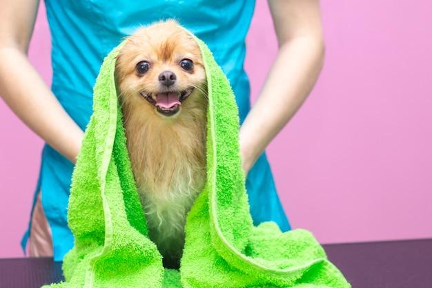 Красивая собака породы шпиц в салоне