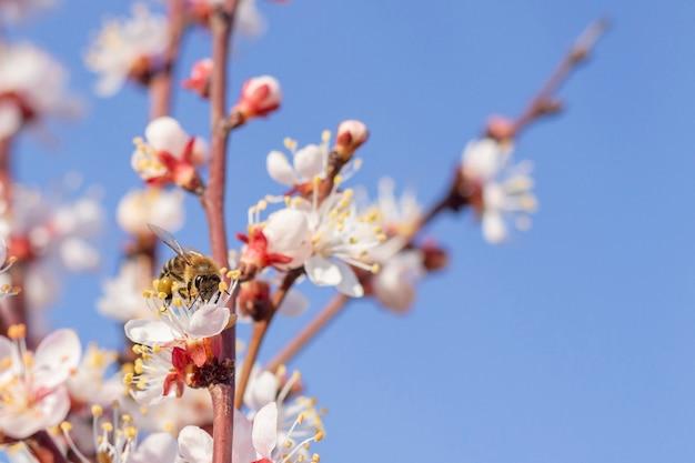 Пчела оса собирает пыльцу опыления цветок весенние цветы цветут на фруктовых деревьях абрикосового дерева