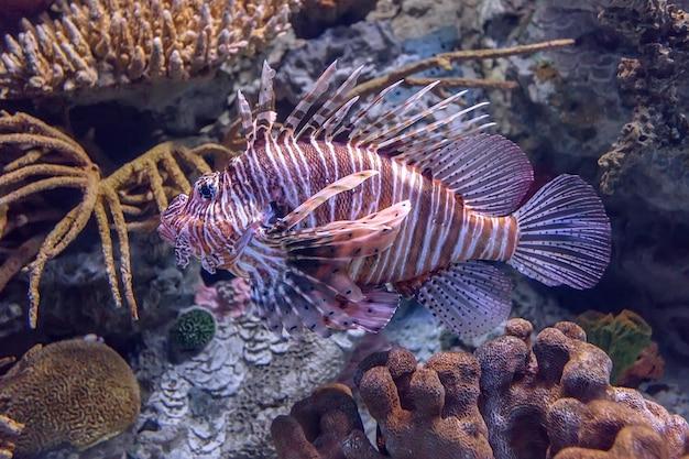 Крылатка в коралловом аквариуме.