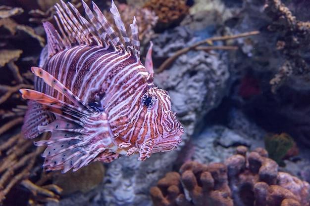 Красная крылатка в коралловом аквариуме.