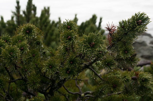 ザコパネポーランドの高タトラ山脈の山の若い緑のモミの木の枝