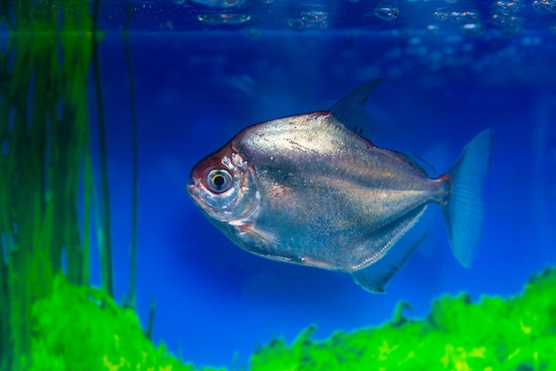 メティニスシルバー、草食ピラニア、魚のドルメティニスアルジェンテウス