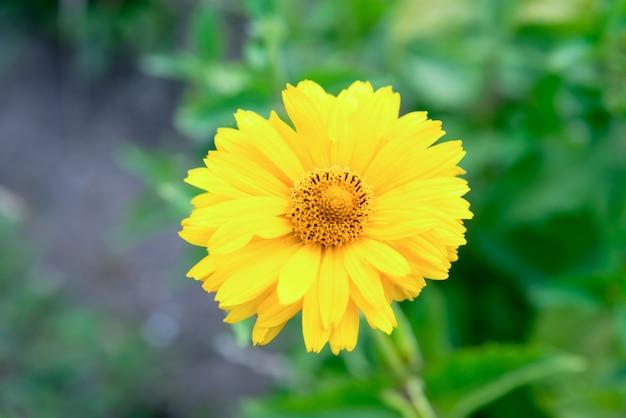 Желтый цветок рудбекия в летнем саду