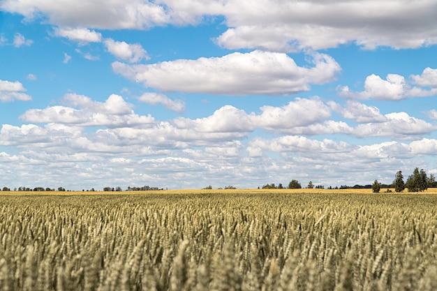 Голубое облачное небо над полем пшеницы летом