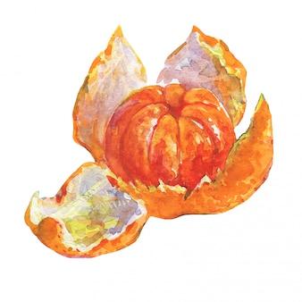 手描きの熟したオレンジマンダリン、タンジェリン。水彩の新鮮な柑橘系の果物を分離