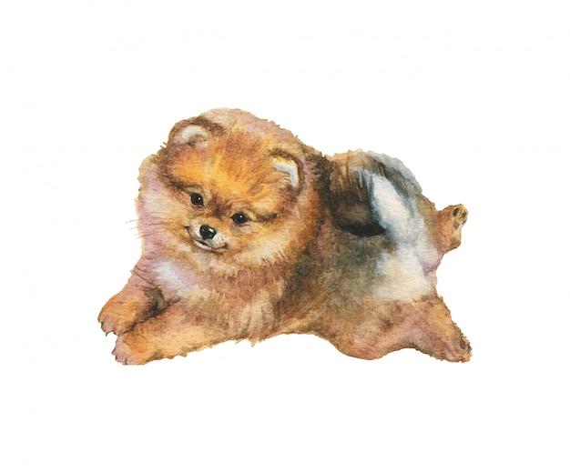 水彩ポメラニアンスピッツ子犬。手は、白い背景に現実的な犬の肖像画を描いた。