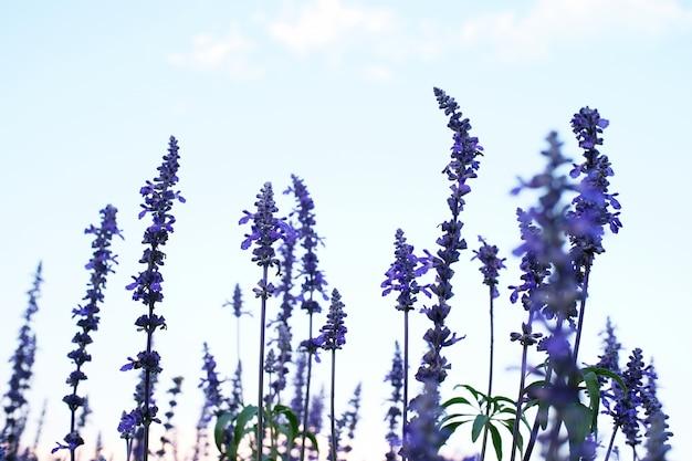 青い空を背景に美しい紫色のラベンダー色の花。セレクティブフォーカス