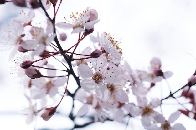 自然の背景に桜や桜の花。