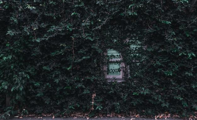 Инжир растет вдоль стены и старого деревянного окна.