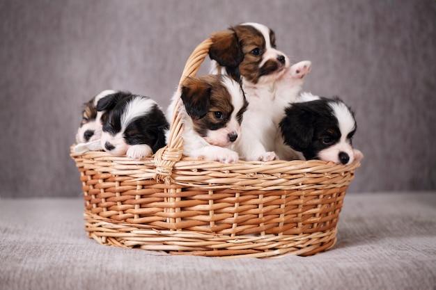 子犬パピヨン付きバスケット