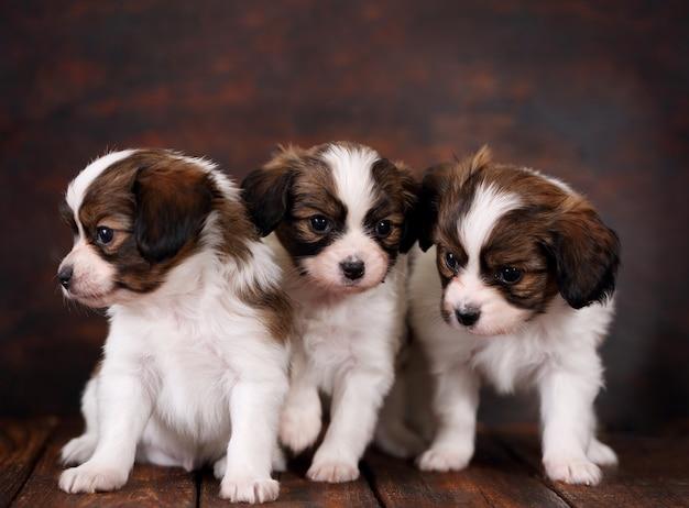 Три щенка папийона
