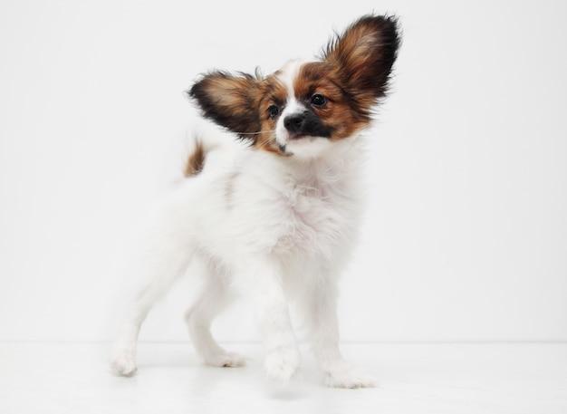 立っている犬種パピヨン