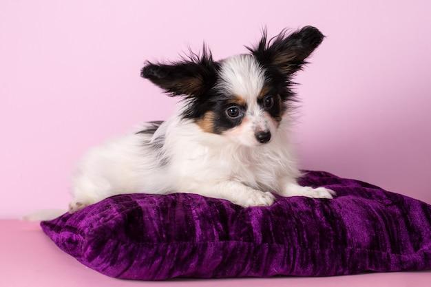パピヨン品種の子犬