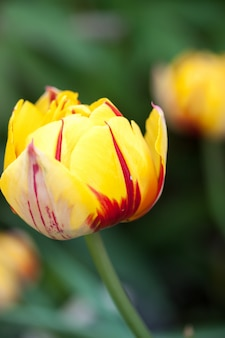 Весенний биколор тюльпан
