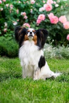 Собака породы папийон