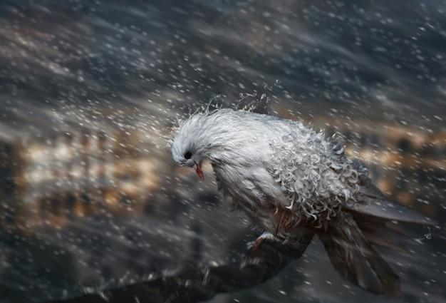 雨の中の鳩。