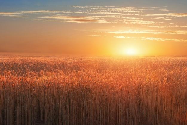 Пейзаж с пшеничным полем на закате