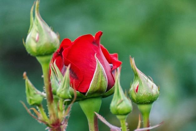 緑の自然な背景に野生で成長している赤いバラ
