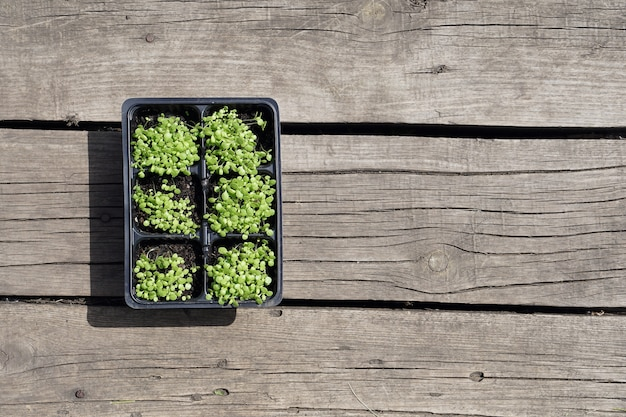 素朴な木製の背景にプラスチック製のポットで小さな緑のタバコの苗。