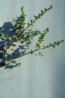 クリエイティブトップビュー柳の木咲く花ブランチ、素朴な青い木製の壁に