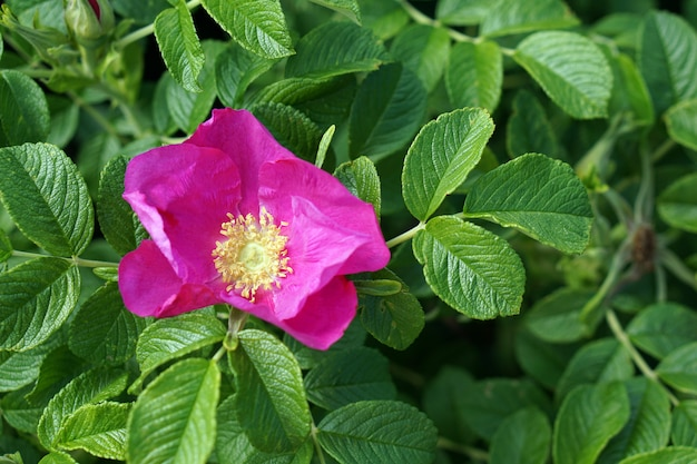 庭でローズヒップ咲く花ブランチ