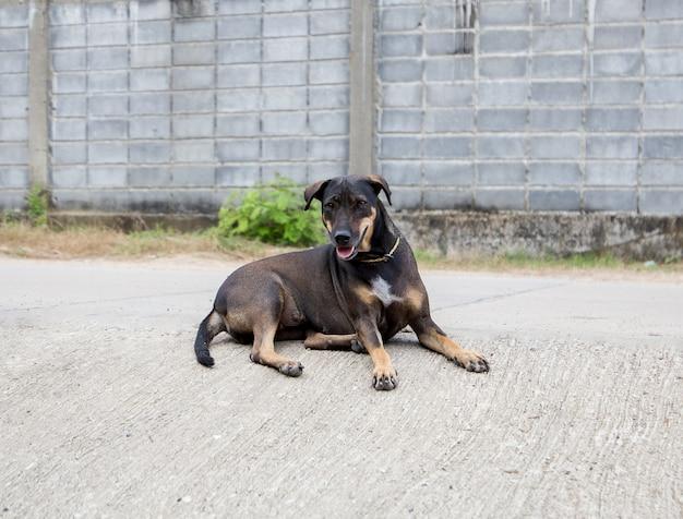 愛らしいタイの犬と正直な犬