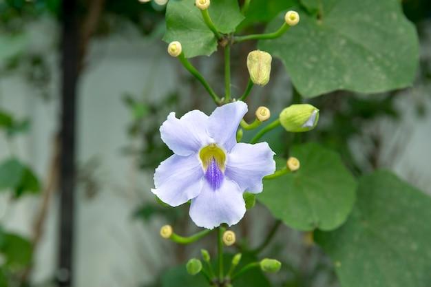 ツンベルギアグランディフローラ、美しい青いベンガルトランペットの花