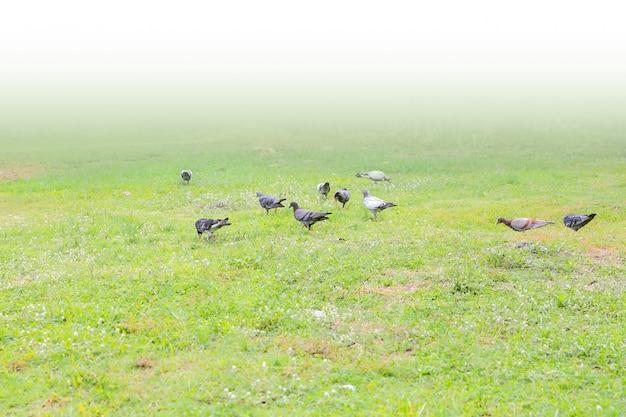 Многие голуби питаются на газоне