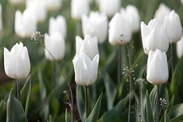Белые и желтые тюльпаны
