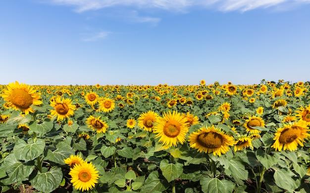 自然に咲くひまわり。ひまわり畑のある夏の風景