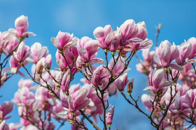春のマグノリアの花