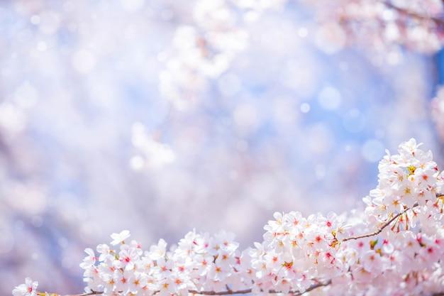 背景の春の桜の花またはテキストのコピースペース