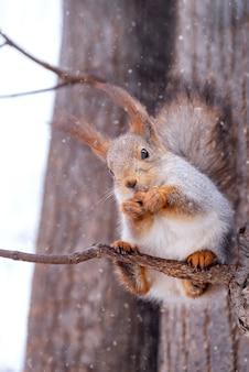 リスは冬の公園でナッツを食べる