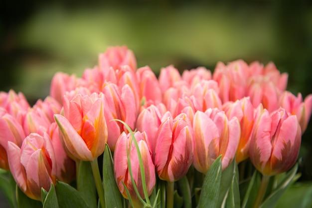 ぼやけたピンクのチューリップの花束