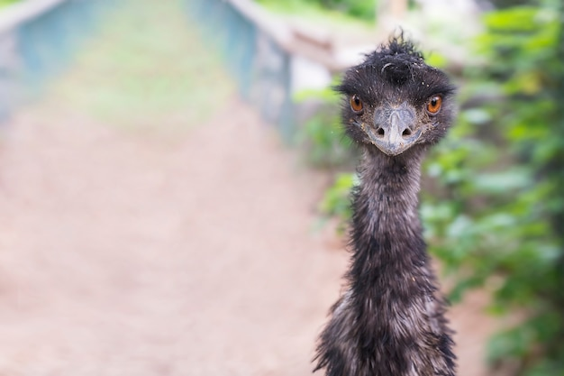 Забавный черный страус смотрит в камеру