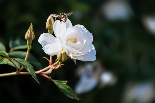 Шмель летит на белой цветущей розе