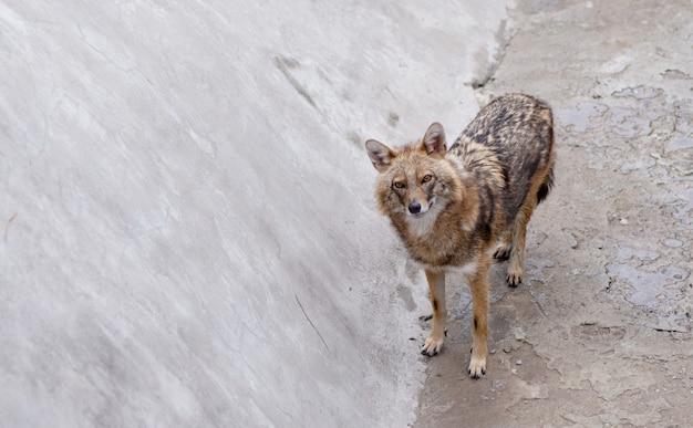 若いオオカミ