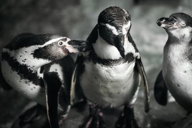 動物園のポーズのペンギンのグループ