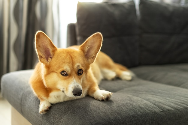 リビングルームのソファーに敷設かわいい生姜ウェルシュコーギーペンブローク犬