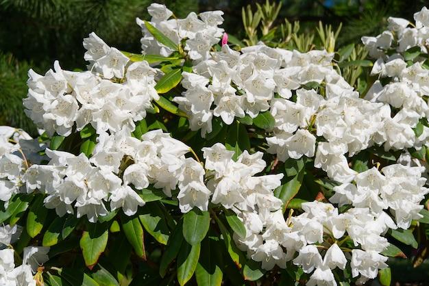 白いシャクナゲのクローズアップ。繊細な白いツツジのツツジの花。ランドスケープデザイン。