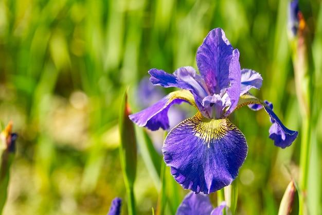 紫色のアイリスの花のクローズアップ。青い花アイリス。