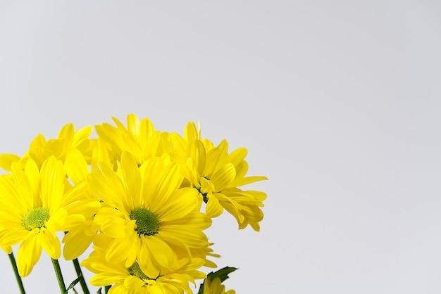 美しい新鮮な黄色の菊、クローズアップショット、黄色のヒナギクの花。