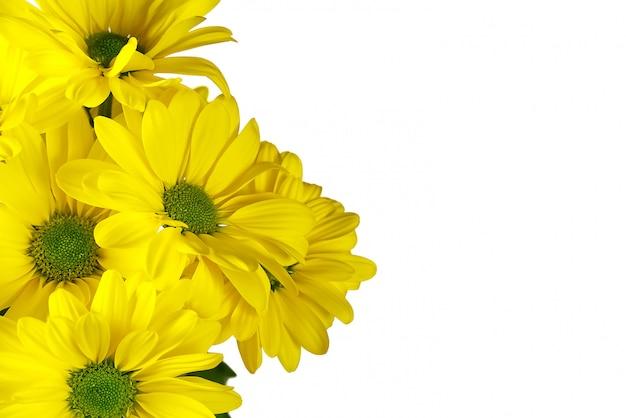 美しい新鮮な黄色の菊、クローズアップショット、白で隔離される黄色のヒナギクの花。