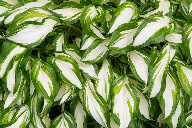 Подорожник лилии, растение хоста в саду. крупный план зеленых и белых листьев,