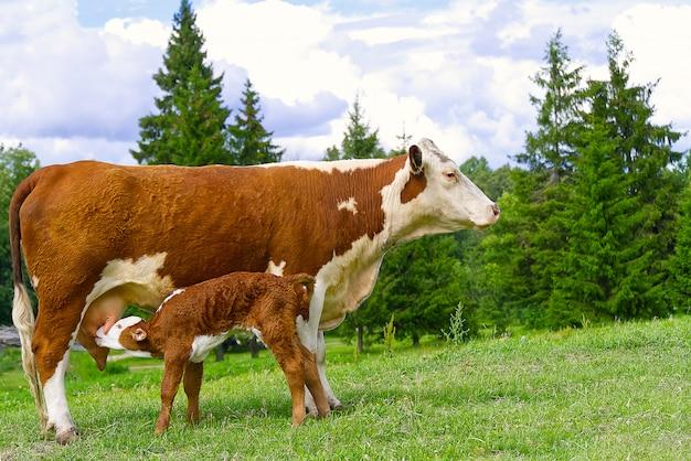 母親から牛乳を飲む子牛。牧草地の緑の芝生に生まれたばかりの子牛と角のない赤い牛。